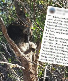 Adventure World Koala Found After Being 'Stolen And Released'