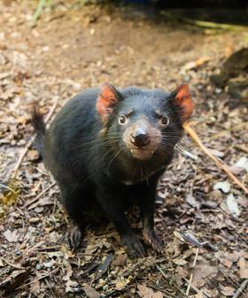 WILD LIFE Sydney Zoo Welcomes Dharra The Tassie Devil!