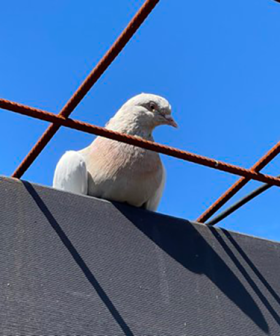 A Racing Pigeon Has Travelled 15,000km From Alabama To Australia
