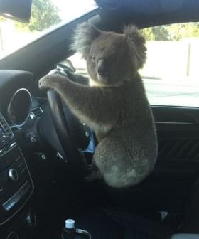 Koala Gets Behind The Wheel After Causing Six-Car Pile Up