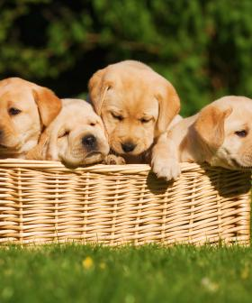 Dream Job Alert: Puppy Parents Needed To Foster Adorable Guide Dogs!