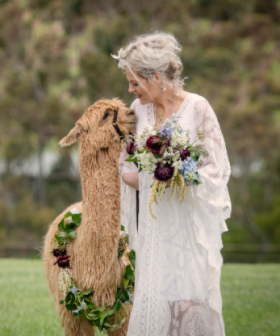 You Can Hire An Alpaca To Walk You Down The Aisle