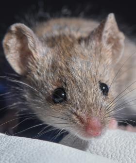 Animal Activists Plead With Farmers Not To Kill Mice Causing Catastrophic Damage To Regional NSW