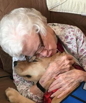 Golden Retrievers Deployed To Aid Those In Need Of Emotional Support