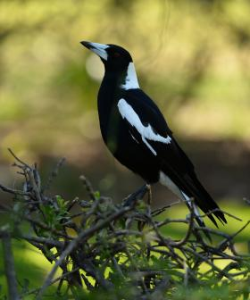 Wearing Face Masks May PROVOKE Magpie Swooping