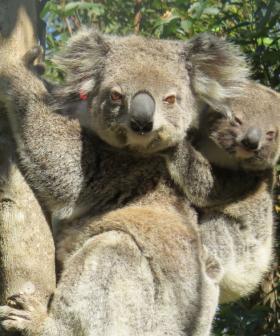 Ember Is A Mum: Koala Bushfire Survivor Spotted In The Wild With Joey